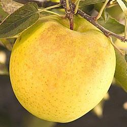 Три ябълки дневно могат да спасят от затлъстяване - Фитнес БГ